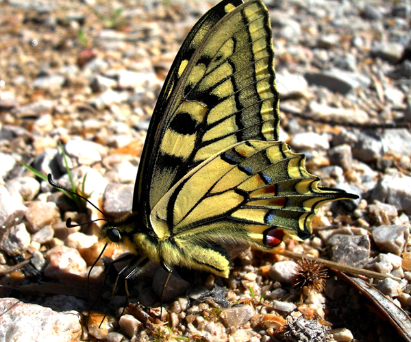 mariposa en Colomera